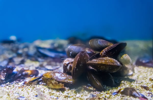 Group of mussels together underwater