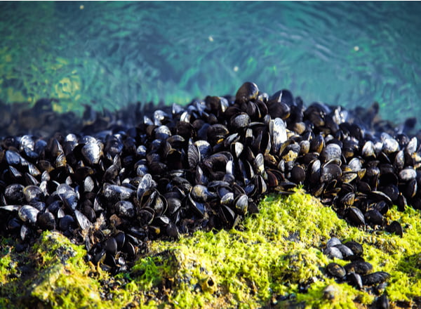 Mussels on the rocks
